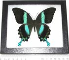 REAL FRAMED BUTTERFLY BLUE GREEN PAPILIO BLUMEI SWALLOWTAIL INDONESIA