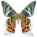 ONE REAL MADAGASCAR SUNSET MOTH CHRYSIRIDIA RHIPHEUS UNMOUNTED WINGS CLOSED