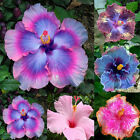 Gardening Giant Hibiscus Exotic Coral Flower 100 Seeds Mix Rare Blue Pink Color