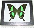 REAL FRAMED BUTTERFLY BLUE GREEN PAPILIO PALINURUS SWALLOWTAIL INDONESIA