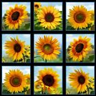 Sunflowers Beautiful Sunflower Blocks 24x44 Large Cotton Fabric Panel