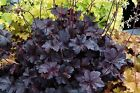 * HEUCHERA CORAL BELLS -PALACE PURPLE * 25 SEEDS