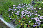 Blue Scabiosa Pincushion Butterfly Flower Plant 25 Seeds