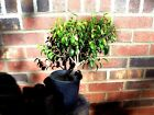 pre Bonsai Tree Ficus Too Little great shape and taper TL39 tall