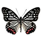 ONE REAL BUTTERFLY RED PINK HESTINA ASSIMILIS CHINA UNMOUNTED WINGS CLOSED