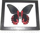 REAL FRAMED BUTTERFLY RED PINK PAPILIO RUMANZOVIA PHILIPPINES