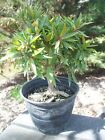 Pre Bonsai Ficus Nerifolia tree Shohin Low maintenancebeautiful 5