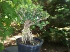 Pre Bonsai Serissa Foetida Japonica Tree of a Thousand StarsImport Rootssj2