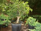 Large Pre Bonsai Ficus Orientalphillipenesis treeAwesome start 2
