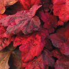 heuchera AUTUMN LEAVES red villosa coral bell 25 pot  1 Live Potted Plant