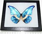 REAL FRAMED BUTTERFLY BLUE WHITE MORPHO RHETENOR HELENA MALE H5
