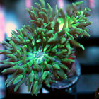 WYSIWYG 2 head neon duncan whisker coral . LIVE Coral Frag! lps sps zoa
