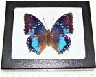 REAL FRAMED BUTTERFLY BLUE CHARAXES SMARAGDALIS AFRICA