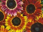 Sunflower Seeds Autumn Beauty Teddy Bear Grey Stripe Lemon or Velvet Queen