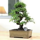 Large Chinese Elm Bonsai Indoor Office Home Bedroom Japanese Plant Table Counter