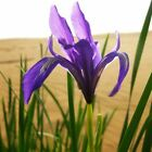 Malan Flower Seed 20 Seeds Iris Ensata Thunb Beautiful Flower Garden Seeds A264