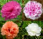 Moss Rose Double Flower Mix Seeds  bin79