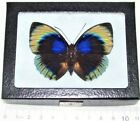 REAL FRAMED BUTTERFLY BLUE GREEN AGRIAS BEATA PERU