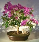 Flowering Bougainvillea Bonsai Tree Pink Pixie LIVE PLANT Free Humidity DripTray