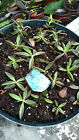 50 ROOTED Mother of Thousands Kalanchoe Houghtonii Alligator Plant