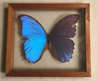 HUGE 6 Blue Morph BUTTERFLY IN DOUBLE GLASS FRAME VINTAGE ECUADOR Piece