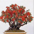 FLOWERING QUINCE BONSAI 10 50 100 500 1000 seeds choice listing