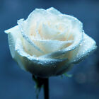 Rose Seed  100 White Rose Seed Romantic Wedding Grow Hope Of  Love Flowers