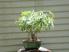 Hawaiian Umbrella Bonsai Tree Banyan Style  8