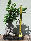 Ficus retusa Ginseng Ficus Pre Bonsai Giant Trunk tree naturally collected