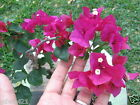 Bougainvillea Live Pre Bonsai Tree