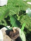Ficus religiosa Live Buddha Tree Adorable rare Tropical Bonsai Ficus