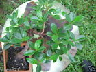 Ficus Green Island Live Ficus microcarpa Neat indoor outdoor Bonsai tree