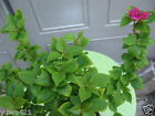 Live Bougainvillea Pixie  Rare Bonsai Tree