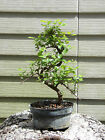 Flowering Sweet Plum Pre Bonsai Tree Flowers GREAT GIFT