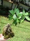 Ficus aurea root over rock Live strangler Fig  Terrarium Bonsai Tree
