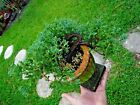 Live Juniper Bonsai Tree Shohin Juniperus procumbens nana