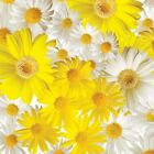 Benartex Oops A Daisy by Kanvas 8734 09 Yellow White Field of DaisyCotton Fabric