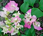 Bougainvillea glabra Pink Live Tropical Pre Bonsai tree Stunning Bloom