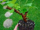 Mulberry Live Morus sp ever bearing variety Fruits Bonsai tree