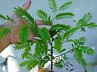 Tamarind Live Tamarindus indica fruit Bonsai Tree