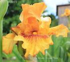 Tall Bearded Iris BURST Rhizome Butterscotch Red Mustard Fragrant PRE SALE