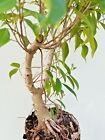 Ficus benjamina small leaves Live rare Ficus Pre Bonsai naturally collected