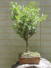 Bonsai Japanese Boxwood Bonsai Tree 4