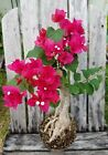 Live Bougainvillea glabra Giant trunk Tropical Bonsai tree Stunning Bloom