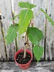 Ficus religiosa Live Buddha Tree Bonsai rare sacred Tropical Ficus Tree1