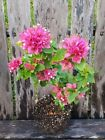 Live Bougainvillea Pixie Neat Tropical Bonsai tree Stunning Bloom