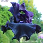 Tall Bearded Iris SPADES Rhizome Purple Black Velvety Award Perennial PRE SALE