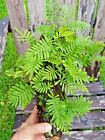 Resurrection Fern naturally on Oak limb terrarium Live Rare accent plant