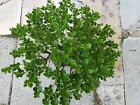 Live Natal Plum Pre Bonsai Tree Carissa microcarpa Neat Bark Bare root