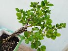 Carissa microcarpa Live Natal Plum Bonsai Tree Neat Bark